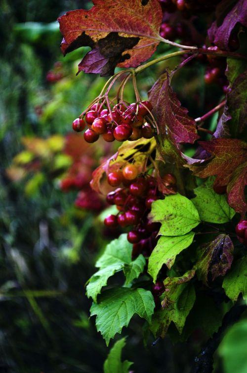 viburnum,ruduo,lapai,medis,aukso ruduo,raudona,šviesus,medžiai,gamta