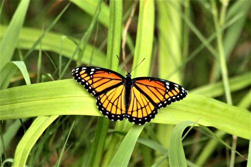gamta, laukinė gamta, gyvūnai, vabzdžiai, drugeliai, viceroy, oranžinė, juoda, balti & nbsp, dėmelės, sparnai & nbsp, plitimą, atviras, sėdi, žalia žolė, laukinė & nbsp, žolė, mentė & nbsp, žolė, vikarijas drugelis ant žolės