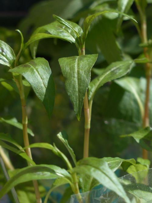 vietnam coriander,augalas,virtuvės žolelių,žolė,lapai,stiebas,žalias,persicaria odorata,prieskoniai,virtuvės prieskoniai,vaistinis augalas,sodo augalas,sodo žolės,sodo prieskonių augalas
