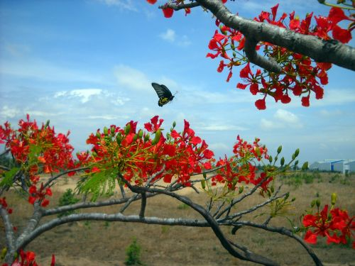 Vietnamas,gražus šviežias,asija,žydi,rytas,emocija,grožis,natūralus,gražus,phoenix gėlė,Natūralus grožis,drugelis