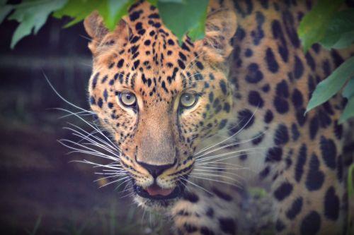 vaizdas,portretas,naminis gyvūnėlis,žavinga,gyvūnas,galva,gyvūnai,katė,žinduolis,kačių portretas,gražus,akys,kačių veido,medžioklė,žvėrys,laukiniai,katės akys,didelės akys,pavojingas,reikšmingas,žvilgsnis,galvos katė,geltonos akys,zoologijos sodas,javan leopardas,leopardas