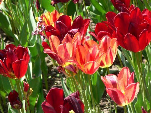 Villa Taranto, Gėlės, Raudona, Raudona Gėlė, Ryškiai Raudona, Gamta, Žydėti, Tulpė