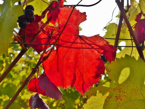 vynmedis,ruduo,raudona,aukso ruduo,lapai,šviesus,spalvinga