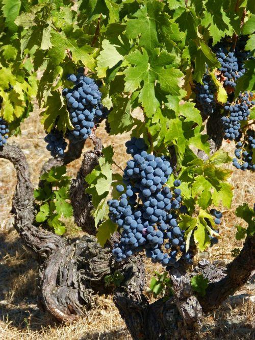 vynmedis,anksčiau,senas vynuogynas,garnatxa,vynuogynas,šiferis,llicorella,vynuogininkystė