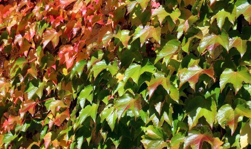 vynmedis,ruduo,lapai,aukso ruduo,raudona,geltona,žalias