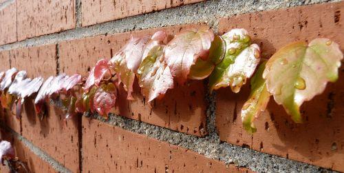 vynmedis,vynas,rank,lapai,ruduo,vyno lapai,lapai,kritimo lapija,raudona,vyno partneris,gamta,augalas,spalvinga,raudoni vynuogių lapai,siena,plyta