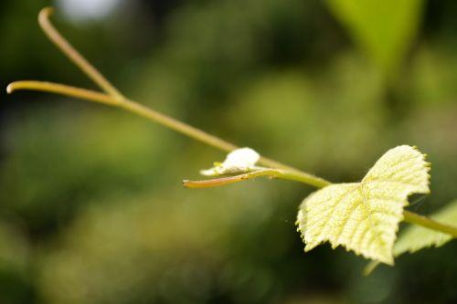vynuogynai,augalas,augalai,gamta,sodas,Šri Lanka,ceilonas,Mawanella,peradniya