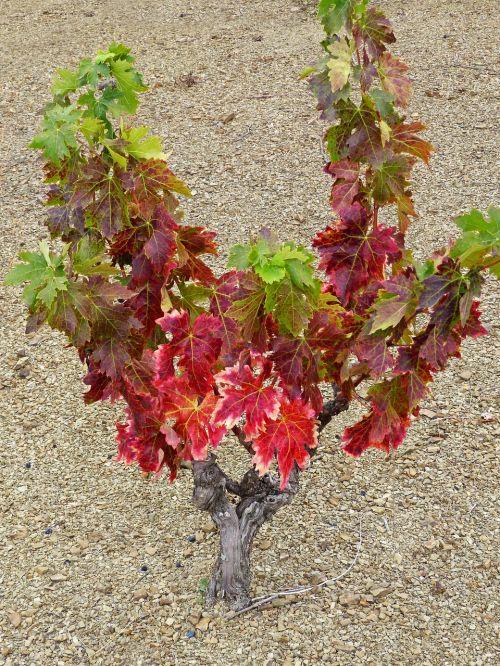 vynuogynas,šlifuotas žemės paviršius,šiferis,anksčiau,ruduo,vynmedis,raudoni lapai,senas vynuogynas,llicorella