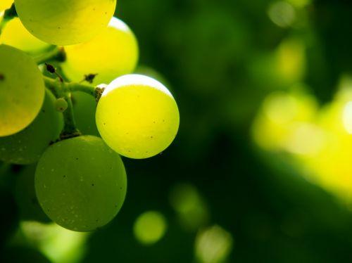 vynuogynas,vynuogynai,žalias,ruduo,vynuogių auginimas,vyno gamintojas,Vynuogė,vynmedis,vyno regionas,vyno fabrikas,kraštovaizdis,žinoma,bio,atgal šviesa,atvirukas,gamta,šviesus,Uždaryti,nuotaika,fonas