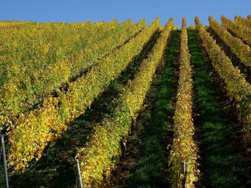 vynuogynas,vynuogynai,vynuogių auginimas,vynmedis,gamta,nuolydis,ruduo,serijos,kilnus vynuogynas,atviras vynas,į pietus nukreiptas