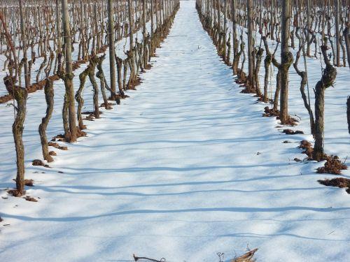 vynuogynas,vynuogynas žiemą,vynmedis,vynuogių auginimas,sniegas,vynas,vynuogynai,Rheinhessen,šaltas