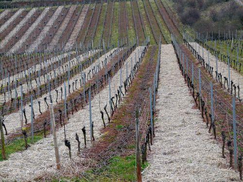 vynuogynas, vynuogynas žiemą, struktūra, vynuogynai, vynas, gamta