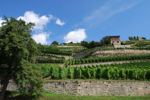 vynuogynas,freiburg,Saale unstrut,vasara,terasos vynuogynas