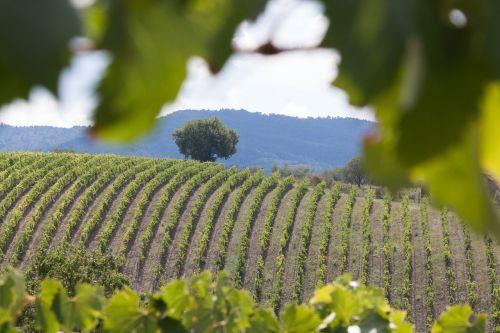 vynuogynas,vynas,vynmedis,serijos,grafiškai,augalas,ruduo,eilėje ir narys,Toskana,italy