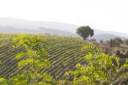 vynuogynas,vynas,vynmedis,serijos,grafiškai,augalas,ruduo,eilėje ir narys,kalnas,medis,Toskana,italy