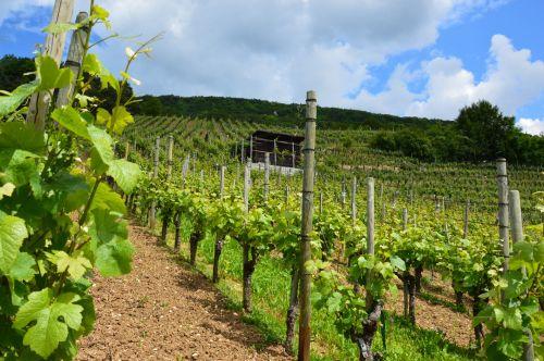 vynuogynas, vynuogynai, kalnas, gamta, Hillside, kaimas, vynuogynas Šveicarijoje