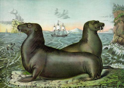 Iliustracijos, clip & nbsp, menas, iliustracija, grafika, vintage, Senovinis, menas, gyvūnai, laukiniai, laukinė gamta, laukinis & nbsp, gyvenimas, gamta, jūra & nbsp, liūtai, juros liutai, žinduoliai, derliaus jūros liūtų iliustracija