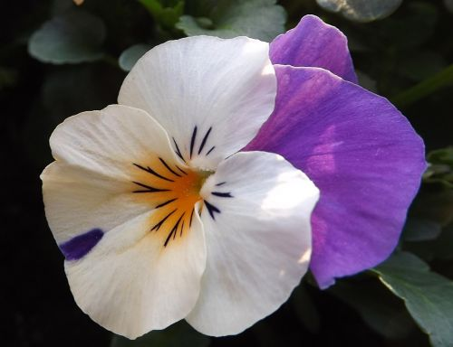 altas,pavasaris,gėlė