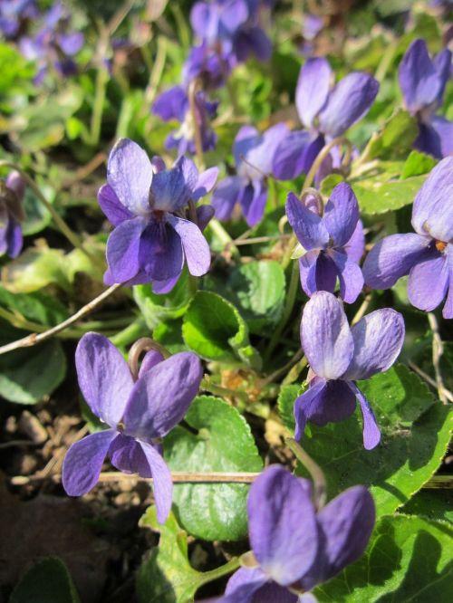 viola odorata, medžio violetinė, saldus violetinis, anglų violetinė, paprastoji violetinė, floristinė violetinė, sodo violetinė, flora, wildflower, botanika, rūšis, augalas, žiedynas