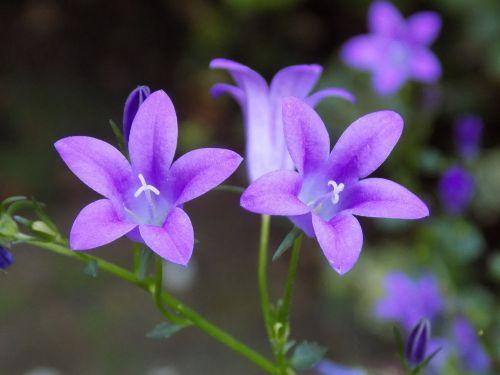 violetinė,violaceae,gėlė