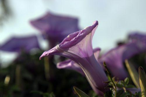 violetinė,varpas,gėlė,augalai,violetinė,botanika,gėlių puokštė,violetinė ryto šlovė,violetinė gėlė