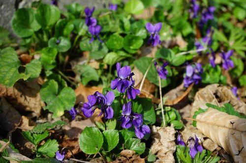 kvapieji violetiniai,viola odorata,kovo vijokliai,kvepiančios violetinės,violetinė gamykla,violaceae,violetinė,žiedas,žydėti,violetinė,vilnos violetinė,gėlė,pavasaris,pavasario pranašys,kvapas,viola reichenbachiana,altas,žolinis augalas,rozetės gamykla,miškas,gamta,violos