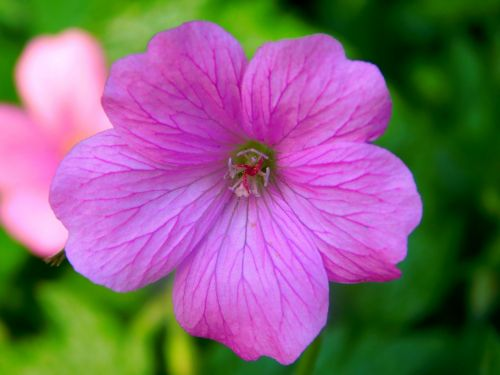 violetinė gėlė,purpurinė gėlė,žiedadulkės,Uždaryti,žiedas,žydėti,gėlė,violetinė,gamta,augalas,bičių žiedadulkės,pistil,antspaudas