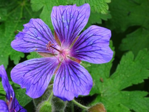 Gėlė,  Gėlės,  Spalvos,  Spalva,  Kaimas,  Gamta,  Sezonas,  Sezoninis,  Flora,  Augti,  Auga,  Sodas,  Sodai,  Krūmas,  Krūmai,  Sodininkystė,  Sodininkystė,  Žalias,  Augalas,  Augalai,  Botanikos,  Botanikos,  Violetinė Sodo Flora