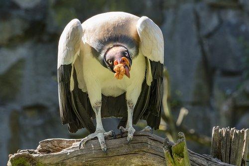 grifas, paukštis, plėšrusis paukštis, neutralizatorių, Raptor, JAV, Zoo, didelis paukštis, gyvūnas, sąskaita
