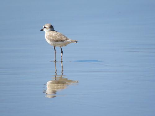 Wader,paukštis,Mozambikas