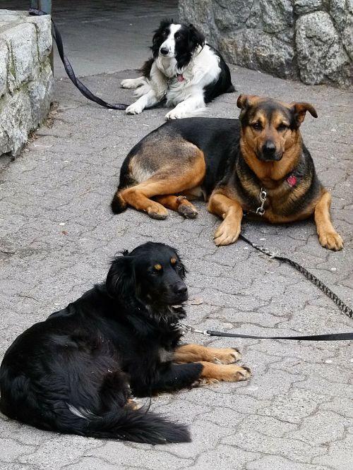 laukimas,melas,šunys,šunys,naminis gyvūnėlis,gyvūnai,leashed,šuniukai
