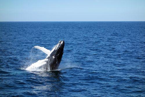 wal,jūra,jaunasis banginis,šokinėti,jūrų augalija ir gyvūnija,vanduo,mėlynas,fin,gamta,vandenynas,jūrų žinduoliai,kuprotasis banginis,žinduolis,mažas banginis,Valų kalba