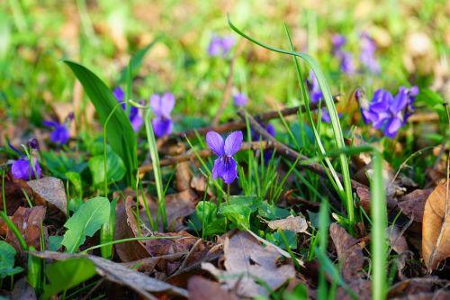 vilnos violetinė,violetinė,gėlė,žiedas,žydėti,pavasaris,pavasario pranašys,kvapas,viola reichenbachiana,altas,žolinis augalas,rozetės gamykla,miškas,gamta,violos,violetinė gamykla,violaceae
