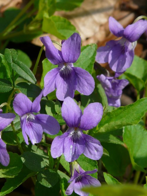 vilnos violetinė,violetinė,violetinė,mėlynas,laukinė gėlė,žydėti,žiedas,žydėti,augalas,pavasaris,spalva,spalvinga