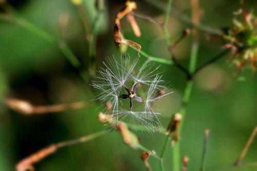 sienos salotos,sėklos buvo,sėklos,skraidančios sėklos,išblukęs,makro,ovule,žvaigždė,geometrija,Uždaryti