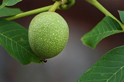 riešuto, apvalkalas, žalias, unrreif, priklauso, Walnut Tree, Juglans, Iš arti, fonas, vaisių dubuo, augti, subrendęs, trumpai, vaisiai