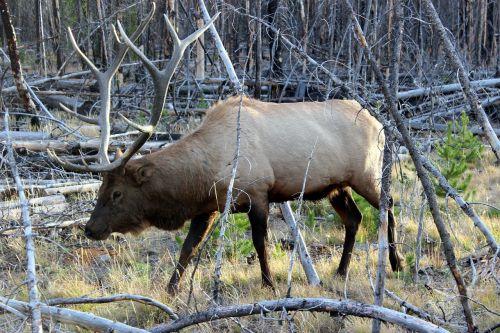 wapiti deer,geltonas akmuo,Nacionalinis parkas,usa,gyvūnas,Hirsch