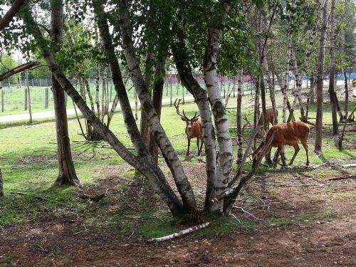 wapiti, elnias, gyvūnas, gamta, laukiniai, wapitis