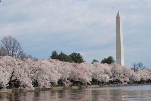 Vašingtonas, paminklas, medis, vyšnia, žiedas, dc, pavasaris, Vašingtonas pavasarį