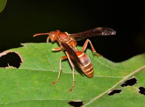 isp,popierius velnias,skėtis,vabzdys,šerti,stinger,švelnus vabzdys,skraidantis vabzdys,sparnuotas vabzdys,sparnuotas,padaras,gyvūnas,fauna,skausmingas,skausmas,makro,Iš arti,lapai,vespid,biologija,entomologija,nariuotakojų,polistinae