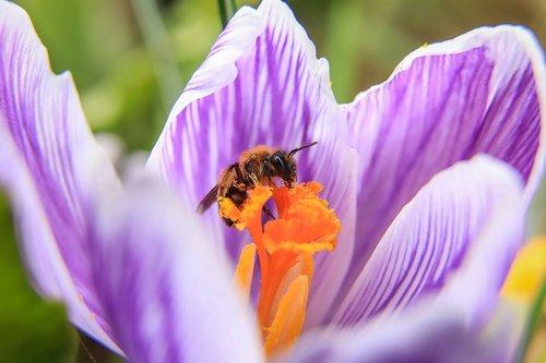 vapsva, Crocus, violetinė gėlė, žiedadulkės, Pavasario gėlė, Crocus gėlių, gėlių sodas, svogūninių gėlių, pavasaris, makro, žiedlapiai, vabzdys, apdulkinimas, nektaras