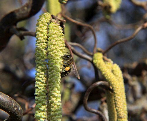isp,makro,gėlės,Uždaryti,tikrasis isp,rinkti žiedadulkes,vabzdys,rinkti nektarą,bičių