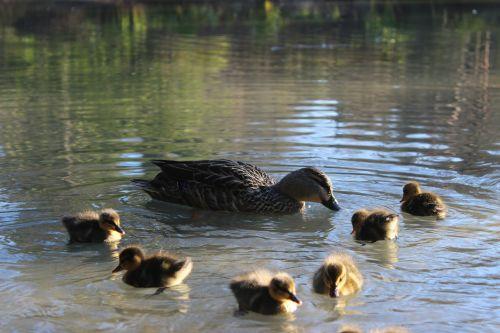 vanduo,ežeras,antis,ančių kūdikiai,viščiukai,gyvūnai,gyvūnų kūdikiai