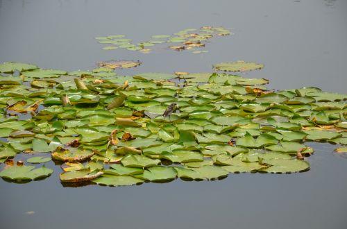 vanduo,žalias,plūdė
