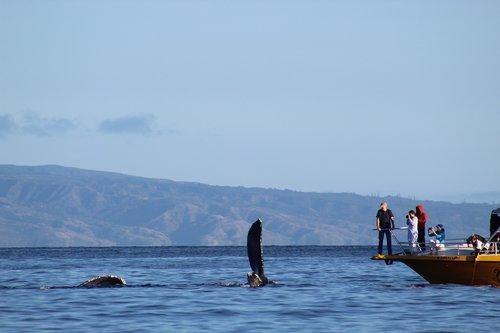 vandens, jūra, vandenynas, kelionė, lauke, banginiai, banginis, kuprotasis banginis, arti susidurti, Whale Watch