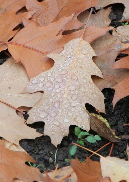 vanduo,lašeliai,lapai,kritęs,ruduo,lapai,rudens lapai,kritimo lapai