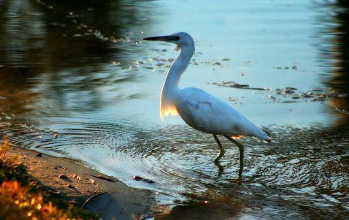 vandens paukščiai,pakrančių paukščiai,žemos šalies paukščiai,pl paukščiai,Egret