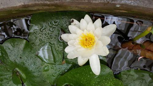 vandens lelija,vandens augalas,tvenkinys,lapai
