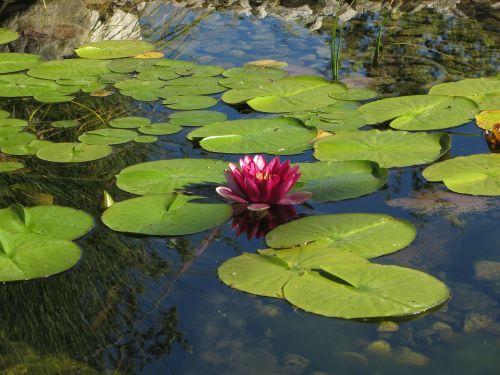 vandens lelija,vandens augalas,žiedas,žydėti,gamta,nuphar,rožinis
