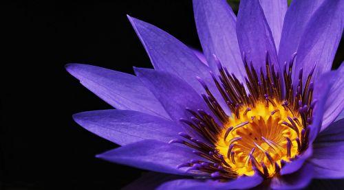 vandens lelija,nuphar lutea,vandens augalas,žiedas,žydėti,tvenkinys,sodo tvenkinys,rosengewächs ežeras,žydėti,gamta,tvenkinio augalas,vanduo,gėlė,Uždaryti,augalas,violetinė,purpurinė lelija,violetinė teichrose,purpurinė gėlė,violetinė,purpurinė vandens lelija,raudonos tvenkinio rožės,nymphaea,vandens gėlė,tvenkinio gėlė,žemėlapis,atvirukas,gėlių sveikinimas,gėlių sveikinimo atvirukas,atvirukas